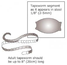 Drawing of a Tapeworm segment (egg pouch) and an actual Tapeworm? Manchester Veterinary Clinic ? CT