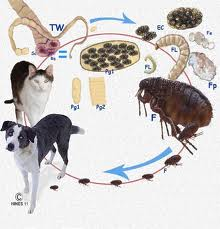 One of the most common ways for your pet to get Tapeworms is from fleas? Manchester Veterinary Clinic ? CT