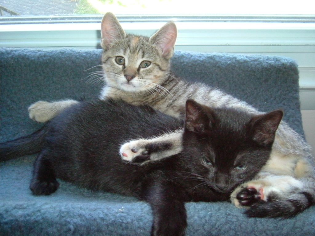 Millie and Coal as kittens - Manchester Veterinary Clinic - CT