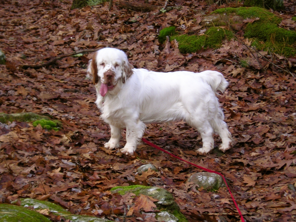 Dr. Soutter's other dog, a Clumber Spaniel, Carlisle - Manchester Veterinary Clinic, CT
