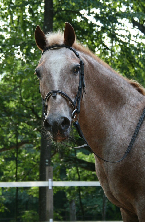 Dr. Soutter's tall pony Mocha - Manchester Veterinary Clinic - CT