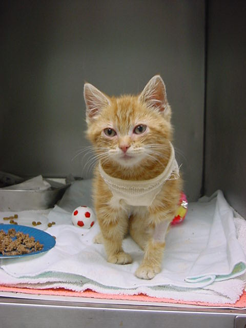 Kitten Harry recovering from surgery in his bottle and protective sweater - Manchester Veterinary Clinic - CT