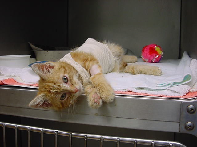 Kitten Harry already looking for belly rubs - Manchester Veterinary Clinic - CT
