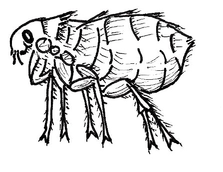 The living flea - Drawing by Heather Wussow - Manchester Veterinary Clinic - CT - Trusted Vets for your Pets