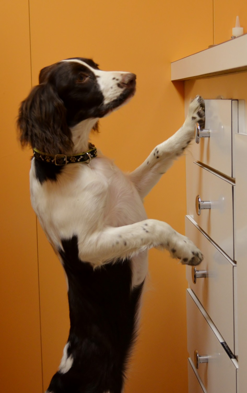 Leia looking for cookies on the exam room counter top - Manchester Veterinary Clinic - CT