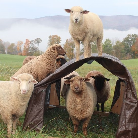 Todd and Peggy Buy A Sheep Farm- Manchester Veterinary Clinic -CT- Trusted Vets For Your Pets