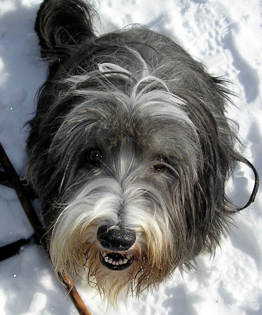 Rosie the bearded collie -Manchester Veterinary Clinic- CT- Trusted vets for your pets